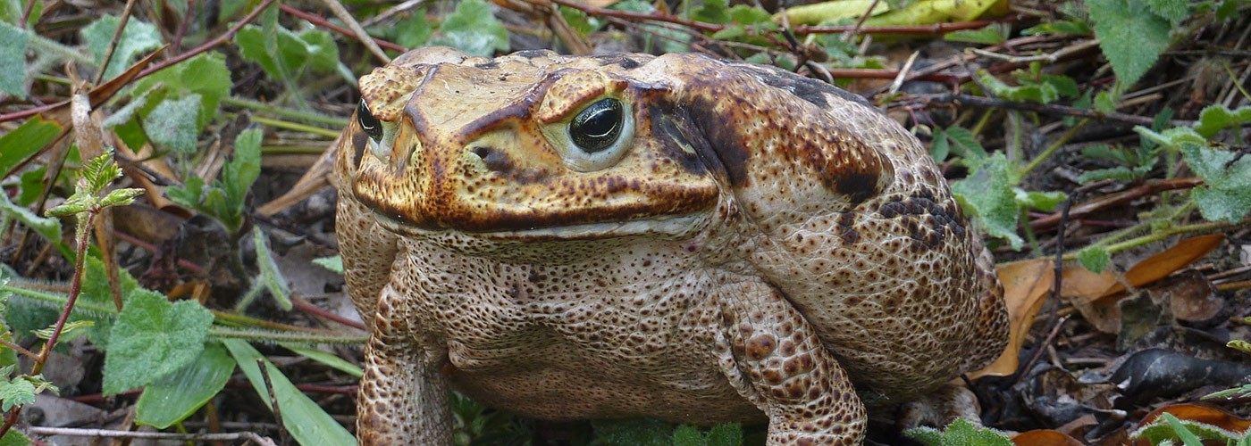 An image of a Cane Toad in relation to a blog